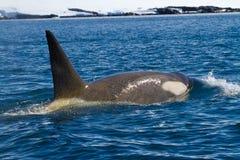 Мужские дельфин-касатки Стоковое Изображение