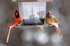 Мужские и женские кардиналы Стоковое Изображение RF