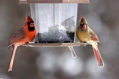 Мужские и женские кардиналы Стоковые Изображения RF
