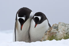 Мужские и женские пингвины Gentoo которые стоят бортовые - мимо - сторона и смычок Стоковое фото RF