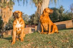 Мужские и женские трясины Boerboel на банках оранжевого реки Стоковая Фотография RF