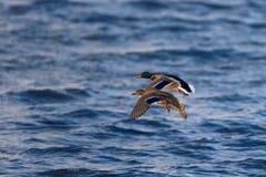 Мужские и женские утки кряквы в полете Стоковые Изображения RF