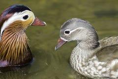 Мужские и женские утки мандарина Стоковые Фотографии RF