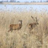 Мужские красные олени в oostvaarders plassen около lelystad в Нидерланд Стоковые Изображения