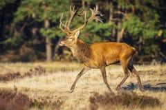 Мужские красные олени, elaphus cervus, во время прокладывать сезон стоковое фото