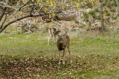 Мужские кружки оленей для камеры Стоковая Фотография RF