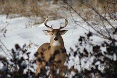 Мужские олени в снеге Стоковое Изображение RF