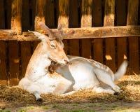 Мужские олени лежа на соломе Стоковые Изображения RF