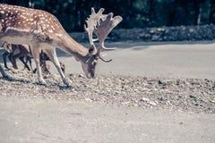 Мужские олени ища еду на дороге Стоковые Изображения RF