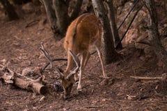 Мужские олени Dama Cervus Стоковое Изображение RF