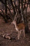 Мужские олени Dama Cervus Стоковое Фото