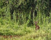 Мужские олени Sambar в одичалых джунглях на реке Kinabatangan, Малайзии стоковые фотографии rf