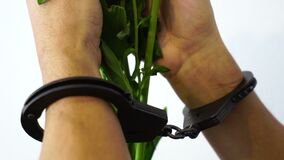 Мужские руки в наручниках держа цветки, влюбленность злодеяние, запрещенная красота, ограничиваемая нежность, свобода слова, врем видеоматериал