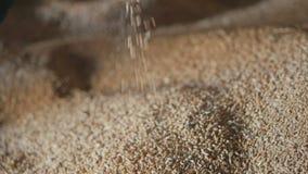 Мужские руки лить все стержени зерна пшеницы Конец-вверх сбора рук фермеров держа зерна пшеницы акции видеоматериалы