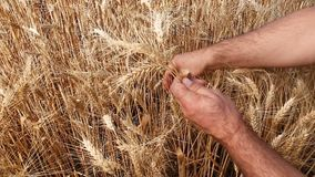 Мужские руки с зрелыми ушами пшеницы сток-видео