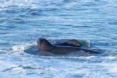 Мужские уплотнения слона воюя в воде Стоковое Изображение RF