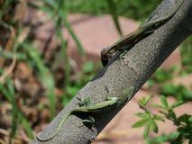 Мужские ящерицы в природе Стоковое Фото