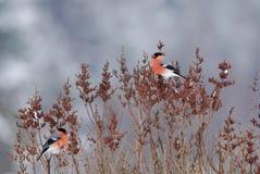 Мужские bullfinches Стоковое Изображение