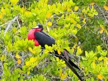 Мужские magnificens Fregata, пышное frigatebird в ветвях мангровы, Santa Cruz, Галапагос, эквадора Стоковая Фотография