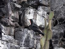 Мужские magnificens Fregata, пышное frigatebird в гнезде утеса над морем, Santa Cruz, Галапагос, эквадором Стоковое фото RF