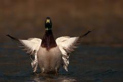 Мужские platyrhynchos Anas дикой утки Кряква на воде с распространенными крылами Стоковые Фото