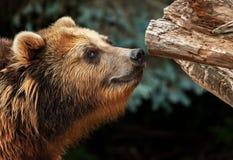 Мужские snuffles бурого медведя Стоковые Изображения RF