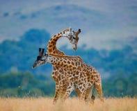 2 мужских жирафа воюя один другого в саванне Кения Танзания 5 2009 в марше maasai танцульки Африки ратников села Танзании восточн Стоковые Изображения RF