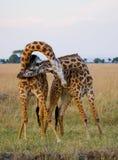 2 мужских жирафа воюя один другого в саванне Кения Танзания 5 2009 в марше maasai танцульки Африки ратников села Танзании восточн Стоковые Фотографии RF