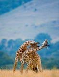 2 мужских жирафа воюя один другого в саванне Кения Танзания 5 2009 в марше maasai танцульки Африки ратников села Танзании восточн Стоковые Изображения