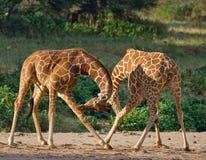 2 мужских жирафа воюя один другого в саванне Кения Танзания 5 2009 в марше maasai танцульки Африки ратников села Танзании восточн Стоковая Фотография