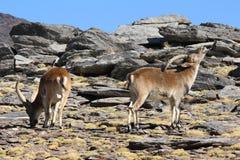 2 мужских испанских Ibexes пася Стоковая Фотография