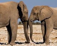 2 мужских слона приветствуя один другого в Etosha Стоковые Фото