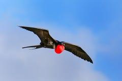 Мужское большое летание в голубом небе, PA Frigatebird Галапагос национальное стоковые изображения rf