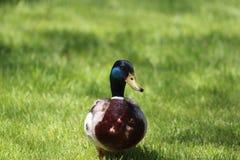 Мужское вид спереди утки кряквы в траве Стоковое Изображение RF