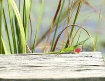 Мужское зеленое Anole стоковая фотография rf