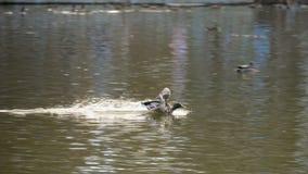 Мужское летание утки кряквы видеоматериал