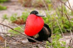 Мужское пышное Frigatebird с надутым gular sac на северном Se Стоковое Фото