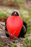 Мужское пышное Frigatebird с надутым gular sac на северном Se Стоковые Изображения