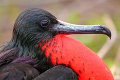 Мужское пышное Frigatebird с надутым gular sac на северном Se Стоковые Изображения RF