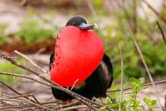 Мужское пышное Frigatebird с надутым gular sac на северном Se Стоковое Изображение
