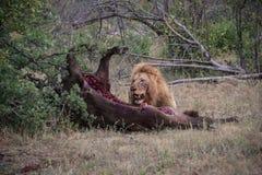 Мужское убийство буйвола еды льва Стоковые Фотографии RF