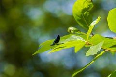Мужское чёрное дерево Jewelwing на лист Стоковое Фото