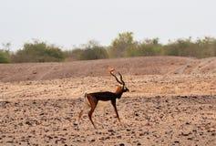 Мужское Blackbuck показывая перед женским blackbuck Стоковая Фотография RF