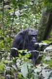 Мужское Chimpansees в национальном парке Стоковое Изображение RF