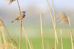 Мужское cyanecula svecica соловья птицы варакушки поя во время Стоковое Изображение