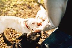 Мужское cynologist при собаки полисмена, тренируя снаружи Стоковая Фотография RF