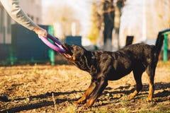 Мужское cynologist, тренировка собаки полисмена внешняя Стоковое Изображение
