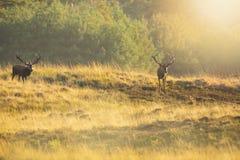 Мужское elaphus cervus рогача красных оленей, прокладывать во время захода солнца стоковые фото