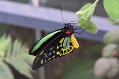 Мужское euphorion Ornithoptera бабочки Birdwing Стоковые Изображения RF