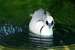 Мужское Smew, купая и плавая стоковое фото rf